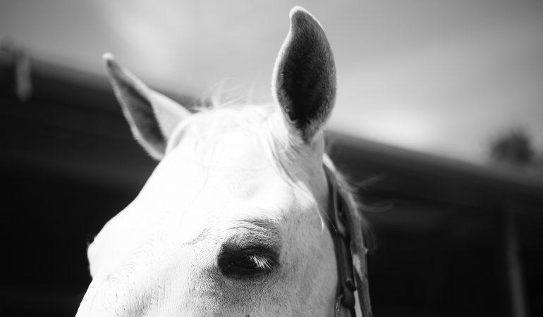 Uršulė Toleikytė: Apie žirgo tapimą darbiniu arkliu – universiteto metamorfozė